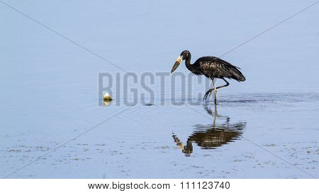 African Openbill In Kruger National Park