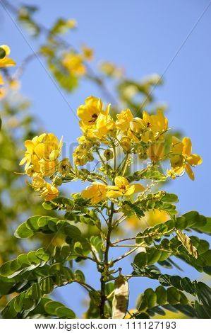Flower of Scrambled Egg Tree