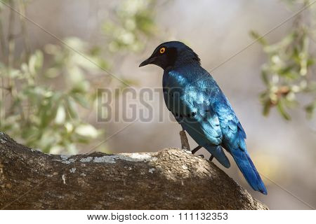 Burchell's Glossy-starling In Kruger National Park