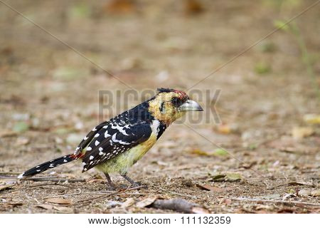 Crested Barbet In Kruger National Park