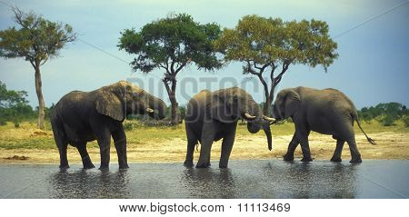 African elephants by the waterhole