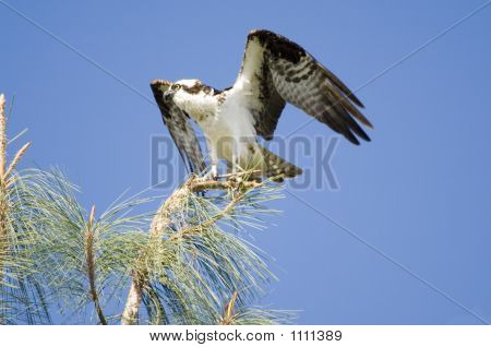 Osprey In Pinetree Pct2660
