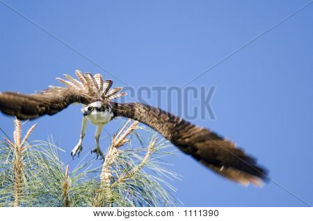 Osprey Incoming Pct2662