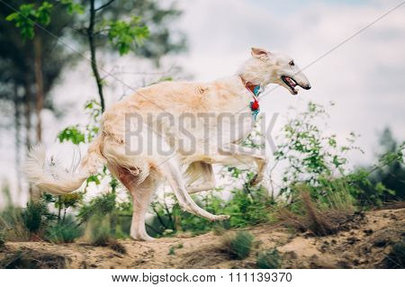 White Russian Borzoi or gazehound hunting running in forest