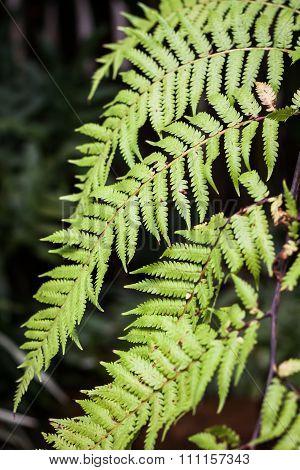 Close-up Fern Leaf In Garden