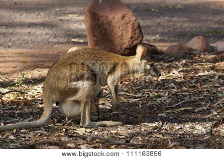 Wallaby, Australia