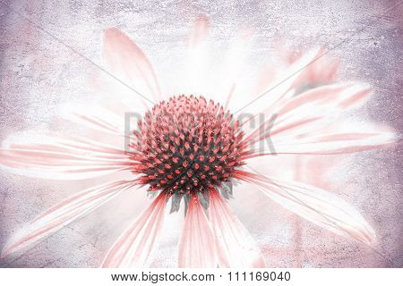 Echinacea Purpurea, Light Pink Healing Herb, With Texture