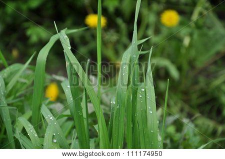 Dew On Grass Close Up