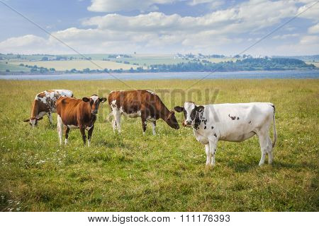 Herd of Ayrshire cows grazing in farm field at Prince Edward Island, Canada.