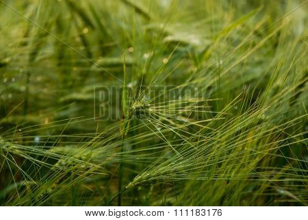 Green Cropfield