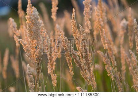 Close Up Of Foxtail Grass Flowers