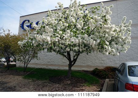 Crab Apple Blossoms at the Goodwill Store