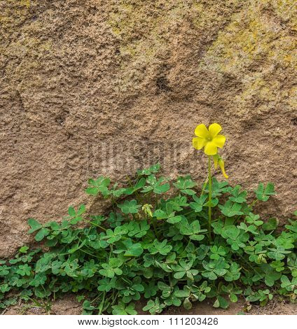 One Yellow Wood Sorrel On The Ground In Front Of The Rock Wall