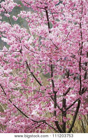Wuling Farm Cherry Blossom Season, Nantou, Taiwan