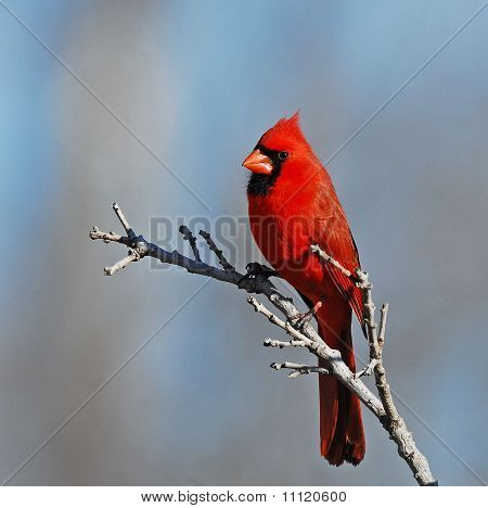 Northern cardinal set against muted blue bakground