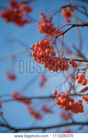 Rowanberry Fruit on Winter Tree. Ashberry Close-up on a Blue Sky