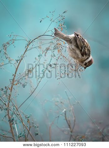 Sparrow Bird Sitting on Old Stick. Frozen Sparrow Bird Winter Po