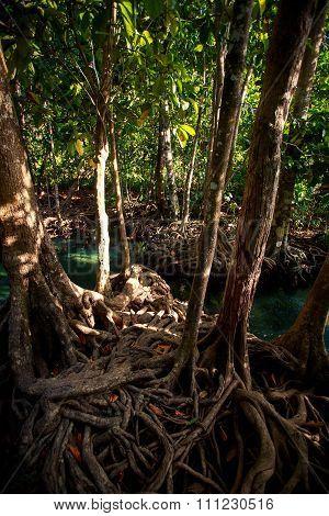 Closeup Green Mangrove Tree Interlaced Roots Under Sunlight
