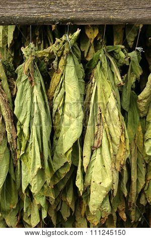 Dried Tobacco
