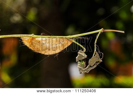 Chrysalis Of Golden Emperor Moth ( Loepa Sikkima )