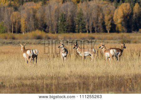 Pronghorn Antelope in Rut