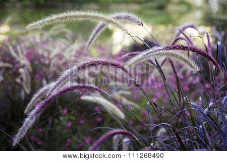 Wild Grass Setaria Swaying In The Wind With Beautiful Nature Background