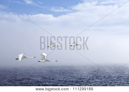 Two couples of whooper swan in migration.
