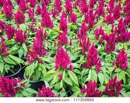 Red Cockscomb Flower In Garden