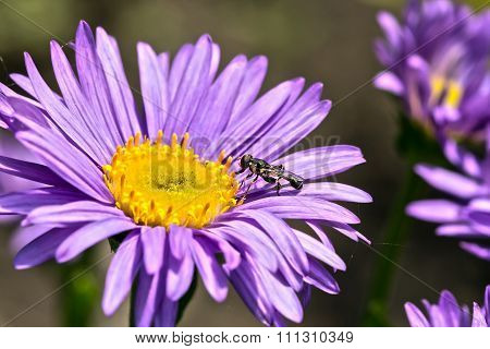 Ornamental garden plants - Alpine Aster (Aster alpinus)