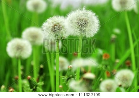 Field Of White Fluffy Dandelions With Drops Of Dew
