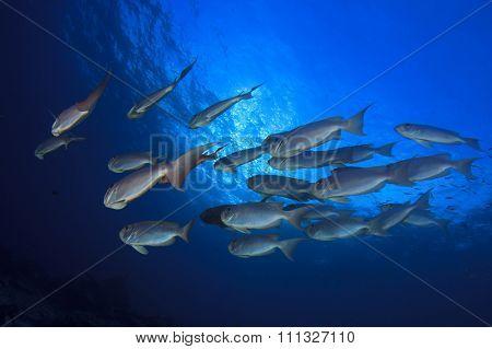 School red Bigeye fish underwater blue sea
