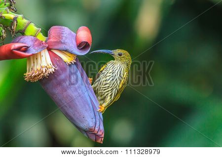 Streaked Spiderhunter bird with flower and taking a syrup poster