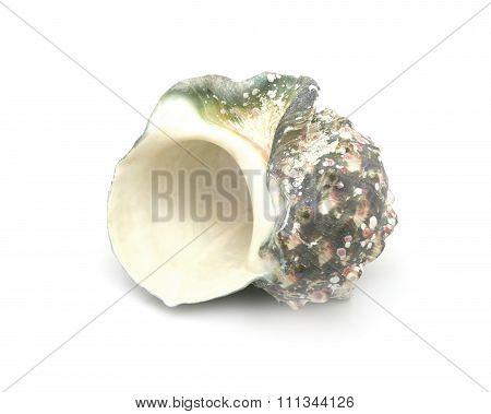 The shell of Luminous shellfish on white background