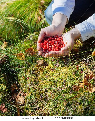 Man Picking Berries In The Woods.