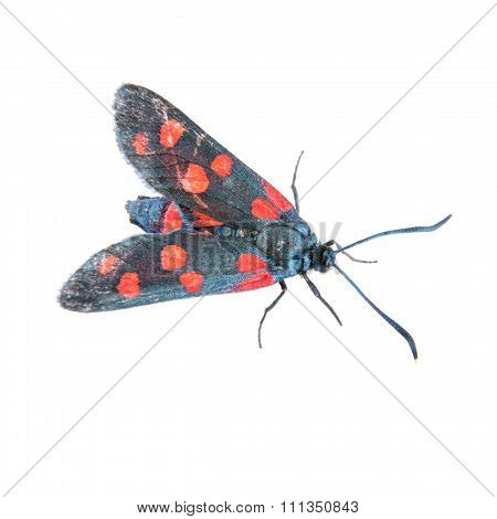 Six-spot Burnet On The White Background