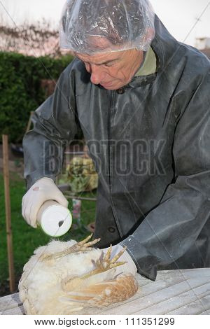 Lice Treatment On A Hen Contamination Outside
