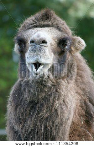 Camel  (camelidae)
