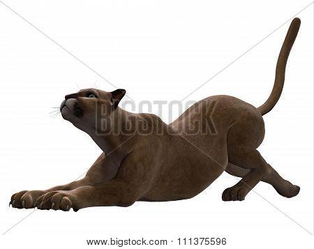 Puma Stretching