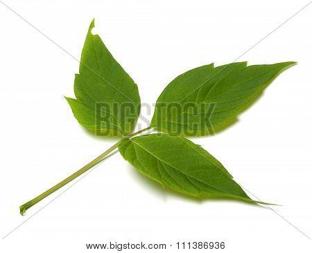 Spring Acer Negundo Leaf