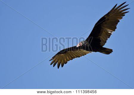Turkey Vulture Flying In A Blue Sky