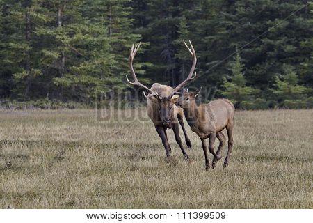 Active Bull Elk Chases Female In Rut Breeding Season