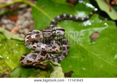 Gray Rat Snake (Elaphe obsoleta)
