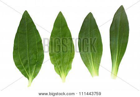 Soapwort And Dianthus Leaf