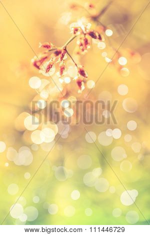Closeup Of  Poaceae With Dew On Blurred Bokeh Background. Outdoors. Vintage.