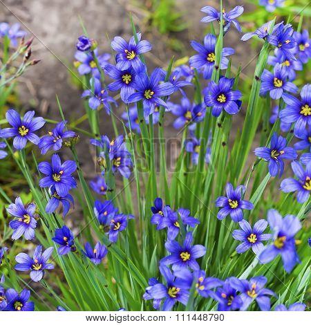Garden flower - Sisirinhium angustifolia