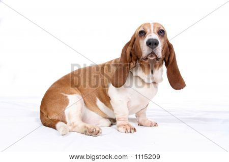 Basset Hound Portrait