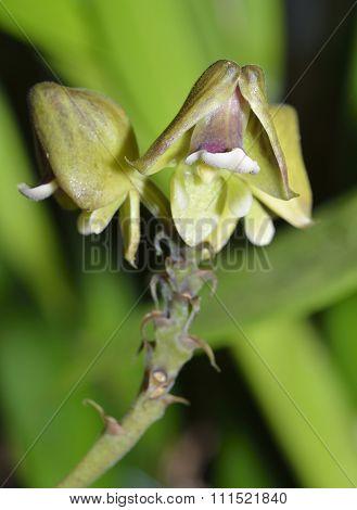 Helmut-shaped Polystachya Orchid