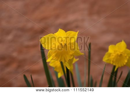 Daffodils in April with brown wall