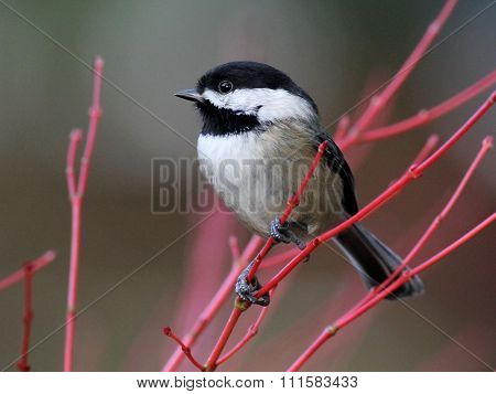 Black-capped Chickadee Perched on Red Branches