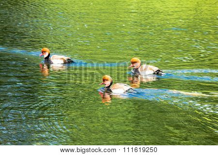 Red-crested Pochards In The St. James Park Lake. London. Uk